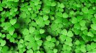 four_leaf_clover-wallpaper-3840x2160.jpg